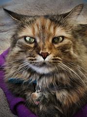 Kia (Kapitan Curtis) Tags: cat portrait kitty beautiful samsung s6 edge lightroom 2