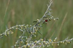 ladybug (olgabrezhneva) Tags: ladybug wormwood nature flower green summer outmn traveling travel belarus       natural flora       minsk herb herbs soft light rest relax naturephoto bug outdoor plant blossom grass