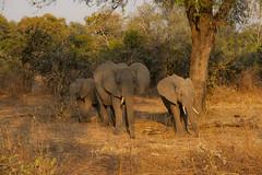 Zambia_LionCamp_230_elephant (atkiteach) Tags: zambia southluangwanationalpark southluangwa safari safaricamp camp nature naturereserve holiday rural africa lioncamp elephants elephant elephantcalf elephantcalves calf calves