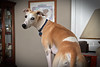 I'm Naughty and I Know It (DiamondBonz) Tags: spanky dog hound pet whippet naughty cute handsome