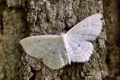 Moth (STE) Tags: falena moth macro