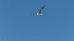 Brown-headed Gull over Pangong Lake (faram.k) Tags: bif bird brownheadedgull gull ladakh lake pangong