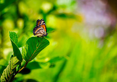 into the light (david_sharo) Tags: davidsharo nature insect closeup butterfly vivid vibrant green yellow