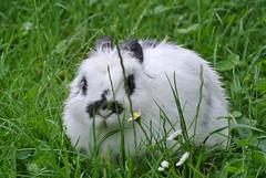 DSC_3427 (mavnjess) Tags: 15 june 2016 vicenza italy italia coniglio coniglios rabbit rabbits bunny bunnies