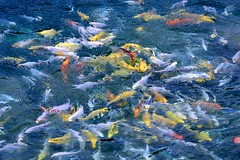 frenetic fish (Karol Franks) Tags: fish feeding frenzy frenetic pond temecula avensolewinery socal california summer