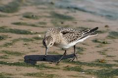 Baird's Sandpiper hunting beach bugs (Rita Wiskowski) Tags: algae algaemat shorebird beach park racinecounty wisconsin sandpiper bairdssandpiper racine peep lakemichigan