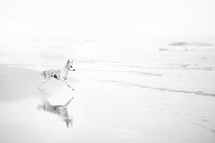 WHITE (Alicja Zmysowska) Tags: dog dogs white high key border collie slate merle seaside sea water beach