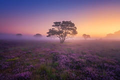 Mystery Morning (albert dros) Tags: albertdros dutch fog heather heide hilversum lonely mist morning mystery netherlands purple sunrise sunset thenetherlands tree
