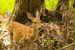 7K8A9147 (rpealit) Tags: scenery wildife nature east hatchery hackettstown alumni field fawn whitetail deer
