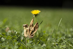 Lwenzahn im Herbst stimmung (milance1965) Tags: lwenzahn canon eos 50d sigma herbst blatt gelb macro flower pflanze sigma2870 sonne natur grass