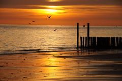 One day I'll fly away (Dannis van der Heiden) Tags: windmills seagulls golden dishoek walcheren zeeland netherlands dusk sea sigma18300mm slta58 beach beautiful westerschelde noordzee windturbines buoy goldensky goldensun