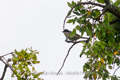 Orphean Warbler (Sylvia hortensis)