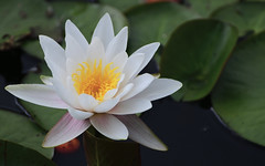 The water-lily... (Steven H Scott) Tags: water lily flower plant nature outdoor petal close up organic