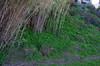 Arundo donax and Tropaeolum majus, Swan River, Dalkeith, Perth, WA, 12/08/16 (Russell Cumming) Tags: plant weed arundo arundodonax poaceae tropaeolum tropaeolummajus tropaeolaceae swanriver dalkeith perth westernaustralia