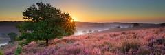 De Posbank (zsnajorrah) Tags: nature heather heath bloom blooming trees fog sky sun sunrise earlymorning 7dmarkii ef1635mmf4l netherlands rheden nationaalparkveluwezoom veluwezoom veluwe posbank