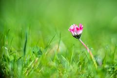 Alone (*Capture the Moment*) Tags: 2016 bokeh bokehleicalenses daisy droplets drops farbdominanz gnseblmchen leicasummiluxm1475 macro solitaire solitr sonya7ii tropfen green grn bokehlicious dof depthoffield