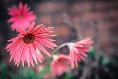 Family flower. 256/366 (jenniferdudley) Tags: lightroom fullframe nikond750 nikonphotography nikon petal family pink flowerporn daisy gerbera flowers flower 12sep16 day256366 366the2016edition 3662016
