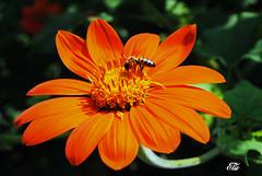. (elio_50) Tags: nikon d3000 fiori flowers natura nature ginevra svizzera wonderfulworld