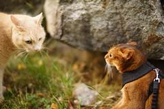 Lizzie encounters a stranger (DizzieMizzieLizzie) Tags: abyssinian aby beautiful wonderful lizzie dizziemizzielizzie portrait siesta a7 cat chats feline gato gatto katt katze katzen kot meow mirrorless pisica mitakon