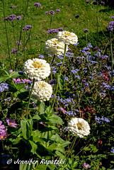 White Zinnia (Bernsteindrache7) Tags: landscape outdoor sony alpha 100 flora fauna garden park color white flower bloom blossom blume