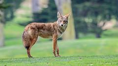 Country Club Coyote (Bob Gunderson) Tags: california coyotes grandvistacanel lakemerced mammals northerncalifornia sanfrancisco wildlife