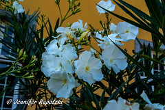 White oleanders (Bernsteindrache7) Tags: summer landscape park sony alpha 100 color outdoor blossom bloom blume white