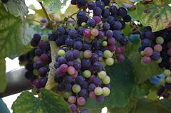 Pronta per il vino! ...  Ready for wine! (Marco_964) Tags: uva vendemmia vino matura grapes wine harvest pentax