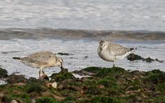 Knot (Chanonry Point) #2 of 2 (Steve Balcombe) Tags: bird wader knot calidris canutus winter juvenile chanonrypoint morayfirth scotland uk