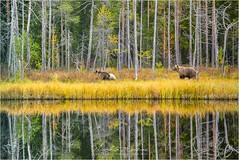 Bearcode (Nicoletta Muscas) Tags: taiga brownbear autumn autunno finland finlandia