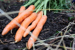In the Garden (Carrots)
