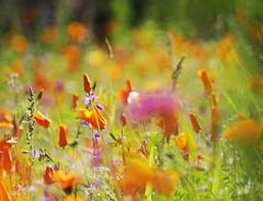 bokelicious (Frau Koriander) Tags: flowers dof bokeh meadow wiese blumen blume blumenwiese vivitar13528 botanischergartenbremen nikond300s