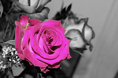 (Kynia1013) Tags: flowers white black color colour rose photoshop recolor selective d5100