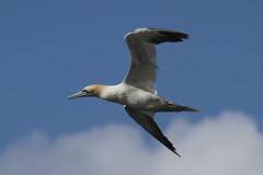 2012_08_27 KB - Northern Gannet (Morus bassanus) 01 (Oretani Wildlife (Mike Grimes)) Tags: ireland bird kerry northern gannet morusbassanus morus bassanus kellsbay