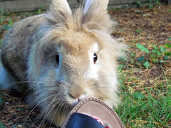 Can I eat this mummy?! (Rose Elizabeth *) Tags: pet rabbit bunny bunnies love me grass animal garden shoe eyes some cabbage carrot loves patch sandal lapin lionhead fluggy
