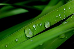 raindrops (withrow) Tags: raindrops irisfoliage
