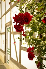 Red roses (ms holmes) Tags: door flowers red roses window blossom background fenster blumen depthoffield bloom rosen tr halftimbered blten fachwerk hintergrund rote shallowdof halftimbering canoneos1000d