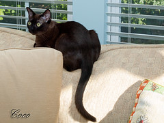Coco 9-15-2012 4 (G. H. Holt Photography) Tags: sable coco burmese burmesecat panthat ghholtphotography panthatcocoparis panthatcattery