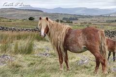 IMG_8888F (Cilmeri) Tags: horses animals wales ponies snowdonia wildponies wildhorses gwynedd eryri trawsfynydd feralponies planethorse