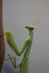Mante religieuse (Mantis religiosa) (Carine.C) Tags: macro nature jardin insecte mantereligieuse mantisreligiosa eos450d kenkoautomaticextensiontubesetdg