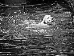 Woof (tootdood) Tags: blackandwhite dog wet water woof animals swimming swim bottle labrador paddle doggy ashtonunderlyne portlandbasin canon600d