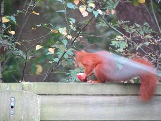 Eichhörnchen, NGID1330651858