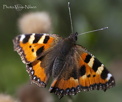 Nymphalis_urticae [Explored] (Voss-Nilsen) Tags: macro nature animal animals closeup fauna digital canon butterfly insect photography eos photo flickr foto natur butterflies insects tortoiseshell explore 5d makro insekt macroshot kleiner fuchs sommerfugl 2012 dyr naturbilder nrbilde aglais urticae naturen insekter macroshots flickrexplore digitalt naturfoto explored sommerfugler naturbilde digitalfoto makrobilder makrobilde neslesommerfugl nrbilder dyranimals insekterinsects sommerfuglerbutterflies neslesommerfugler vossnilsen