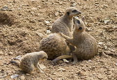Meerkat (Muzammil (Moz)) Tags: mammal meerkat moz muzammilhussain