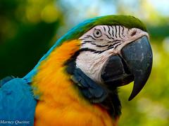 Arara-canindé (Marney Queiroz) Tags: parque cores do flor aves borboleta das cor foz iguacu arara queiroz beija marney duetos panasonicfz35 marneyqueiroz