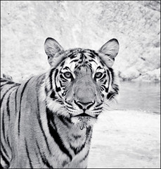 The Tiger IV (*rainbowgirl*) Tags: wild bw white black animals thailand temple asia bangkok tiger dr svarthvtt heimsreisa tgrisdr highqualityanimals