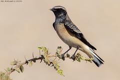 Pied Wheatear (arfromqatar) Tags: birds canon doha qatar birdsofqatar عبدالرحمنالخليفي arfromqatar صورقطر طيورقطر qatar2022fifaworldcup abdulrahmanalkhulaifi