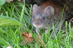"""Say Cheese"" (KHR Images) Tags: mammal sandy bedfordshire vole thelodge rspb bankvole kevinrobson khrimages"