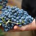 2012 Munselle Merlot Harvest 0015