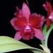 Pot. (C. Chocolate Drop 'Kodama'  X Pot. Rubesence 'SVO' AM/AOS) – Alex Nadzan