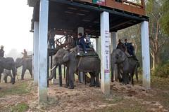 Elephant loading station at Kaziranga National Park_1158 (hkoons) Tags: india elephant animal pachyderm worldheritagesite beast elephants assam centralasia nagaon kaziranga brahmaputra kaziranganationalpark brahmaputrariver assamese golaghat